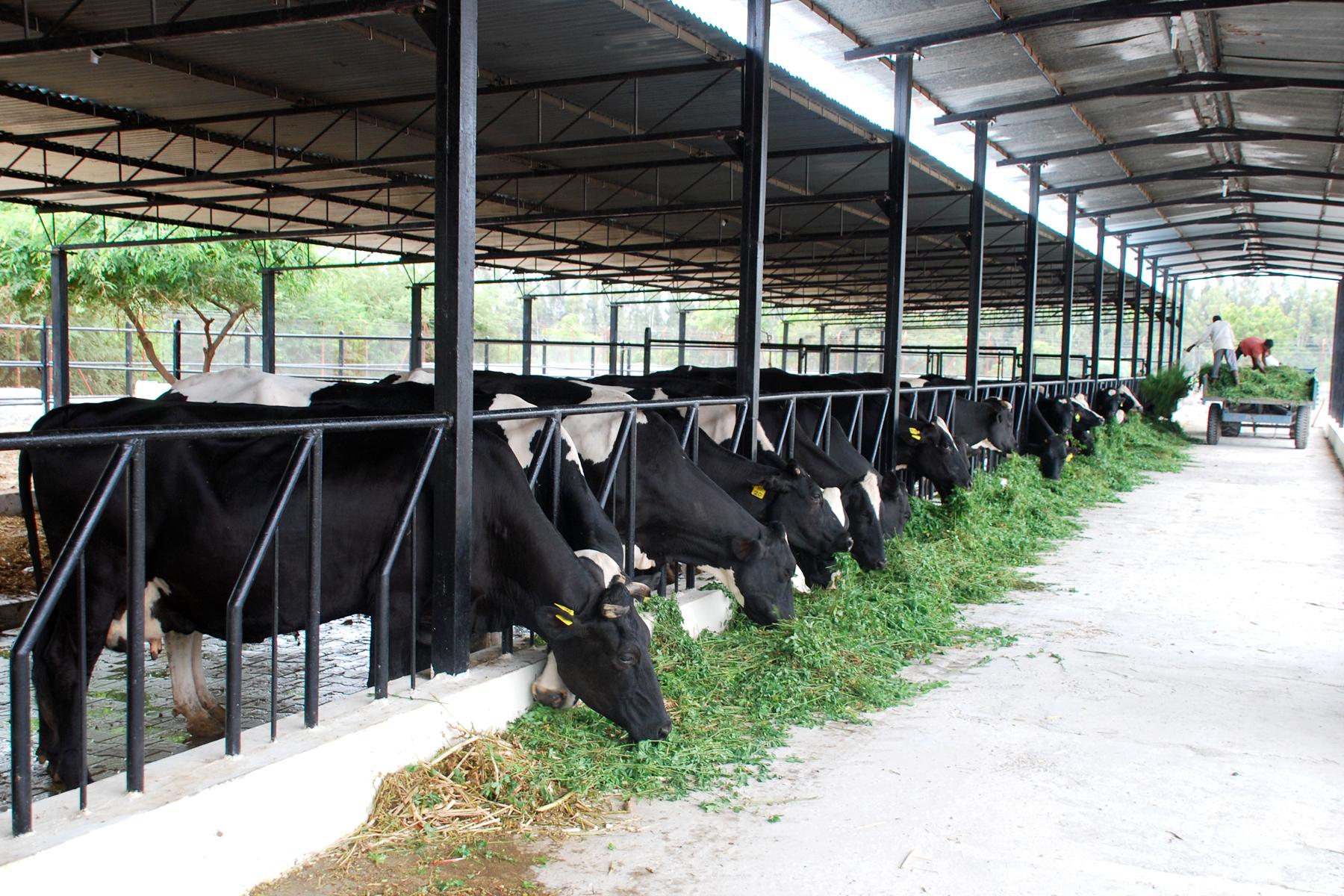 18 Ideas De Establo De Ganado Establo De Ganado Ganado Vacas Lecheras